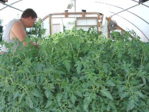 DSC03146TU 1000x1333 Mark_ high_ tunnel-tomatoes