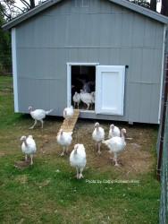 Turkeys at 46 days old