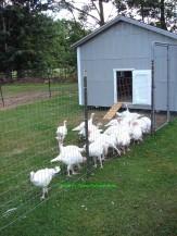 DSC03773sgnd turkeys going to their house 1000x1333