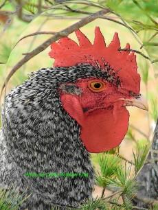 Cuckoo Man our Cuckoo Maran Rooster