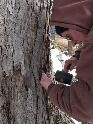 Tapping maple tree