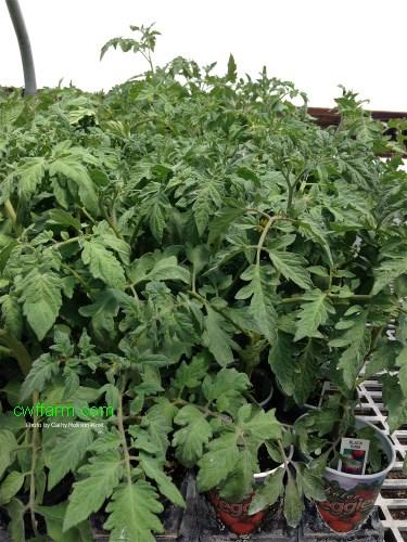 IMG_5429sgnd cwffarm potted tomato plants 500x375