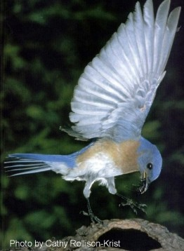 Bluebird in flight by Cathy Rollison Krist june 2001