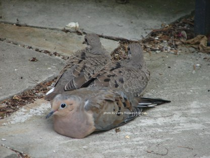 DSC00414sgnd mourning dove babies hovered on our patio