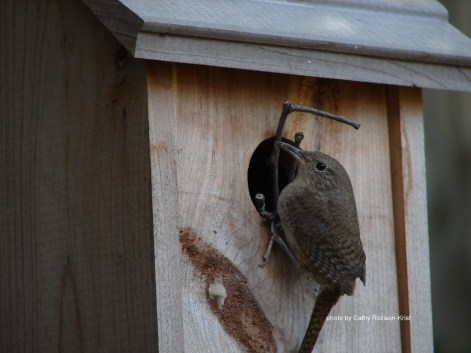 DSC06304sgnd wren making her nest in our bird house in fence row