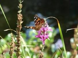 DSC06900sgnd butterfly on flower in fence row