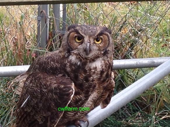 IMG_6358cwffarm owl at our farm lives in fence row