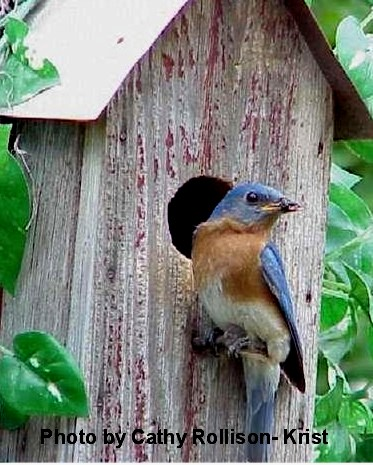 Our Bluebirds at Carousel Watergardens