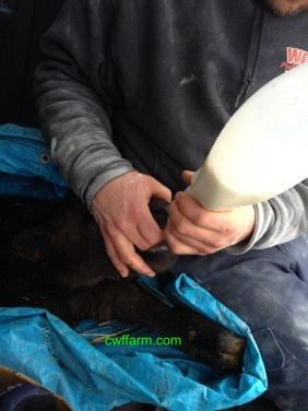 IMG_6327cwffarm caffeygetting first colostrum milk from Eichorn dairy Jan 21 2018