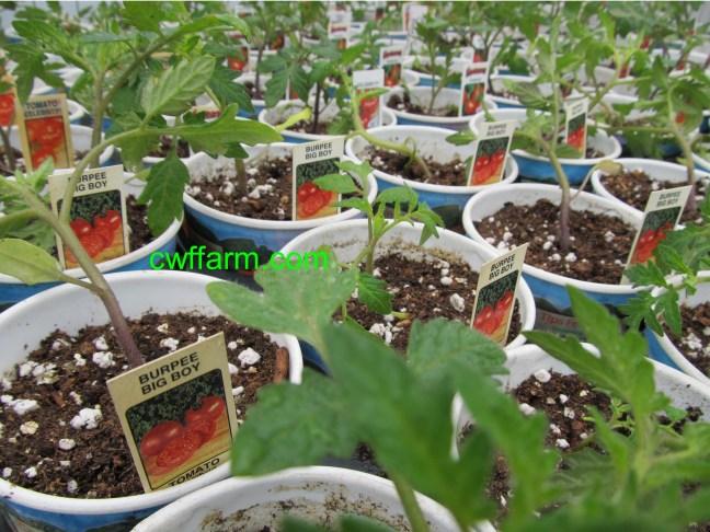 IMG_8064cwffarm CU tomato plants