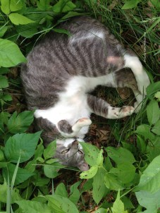 IMG_5639Charlie laying in poison ivy June 2015