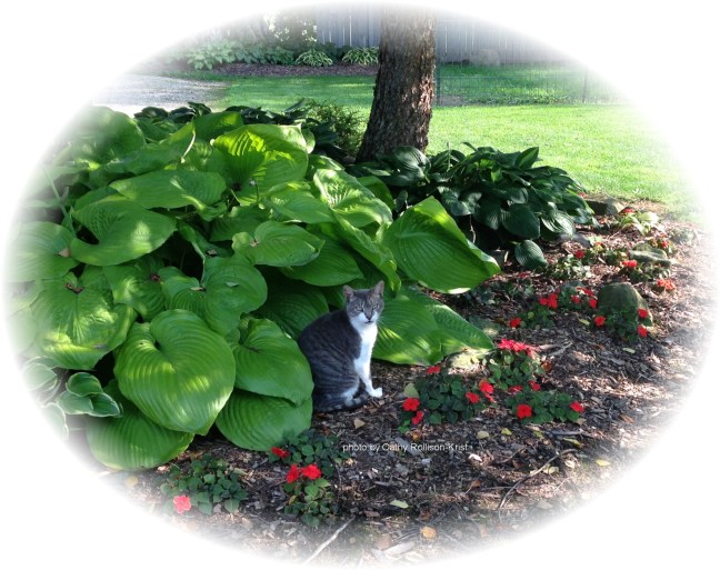 IMG_7204sgndoval Charlie cat in hostas