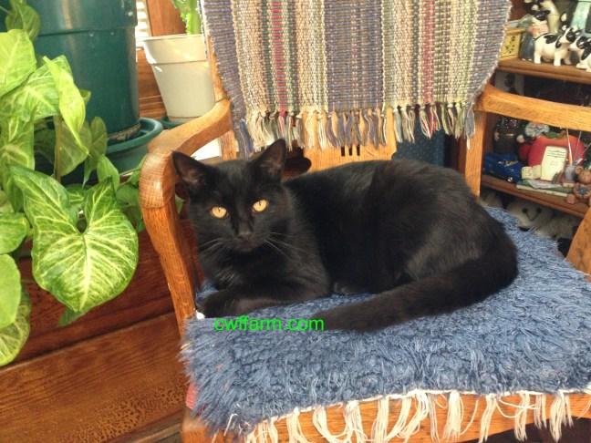 IMG_0385cwffarm coby cat