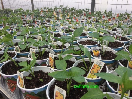 IMG_4546cwffarm peppers shift to pots
