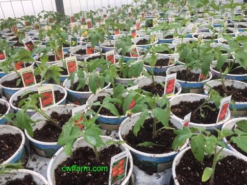 IMG_4548 cwffarm vegs shift to pots