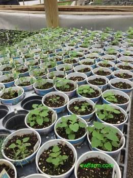 IMG_4909cwffarm herbs