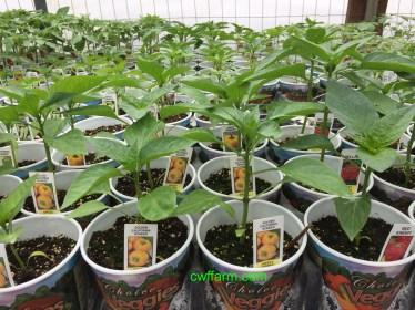 IMG_4925cwffarm retail pepperplants