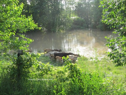 IMG_3984sgnd Jersey cows stranded on Tymochtee Creek along St Rt 37 toward Marseilles June 16 2019