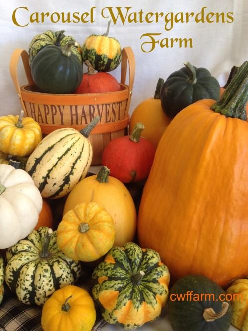 IMG_5145cwffarm Fall harvest squash yr 2014