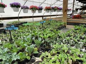 IMG_3709cwffarm vegetables & hanging baskets