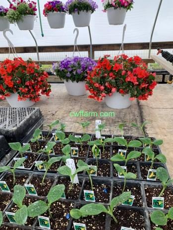 IMG_3712cwffarm zucchini & hanging baskets