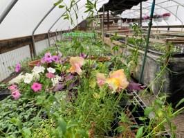 IMG_3718cwffarm greenhouse snaps & petunias