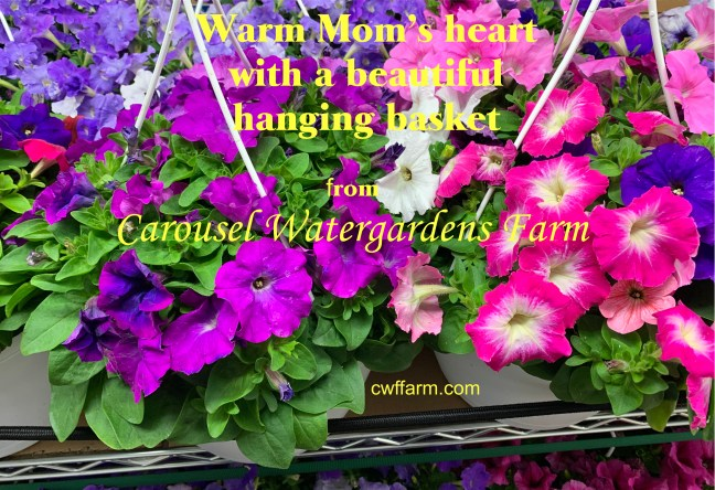 IMG_3907C cwffarm Hanging basketsfor Mothers day