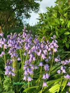 IMG_4217cwffarm bluebells