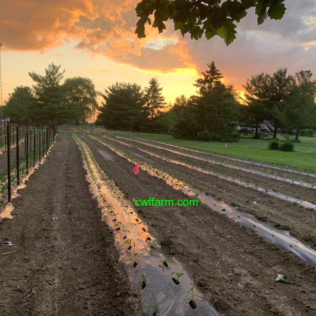 IMG_2730cwffarm june sunsest over produce beds